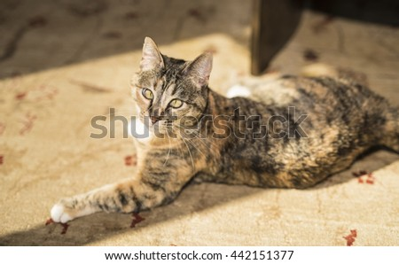 Calico Cat Resting on the Floor in the Sunshine - stock photo