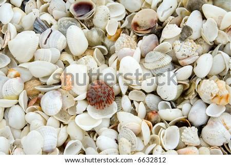 Calico Scallop and Seashells - stock photo