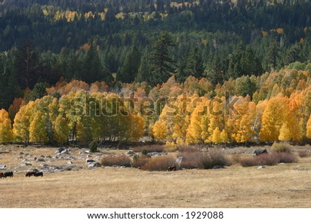 California Aspens in the Sierra Nevada Mountains - stock photo