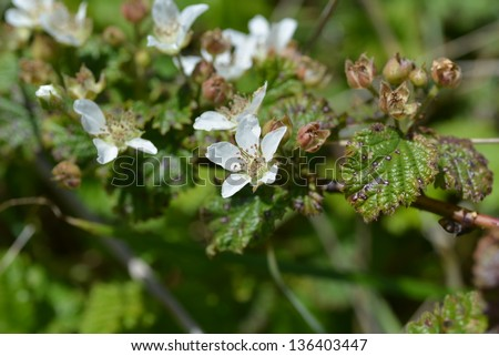 California blackberry - stock photo