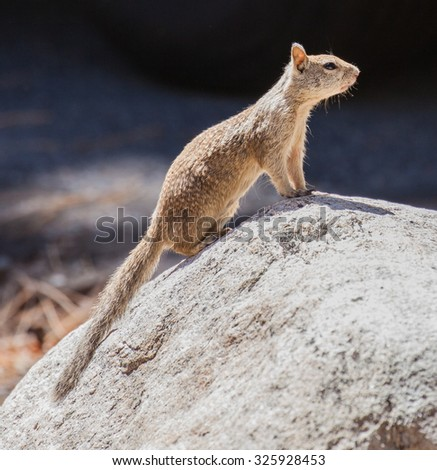 California Ground Squirrel (Otospermophilus beecheyi) standing on a rock - stock photo