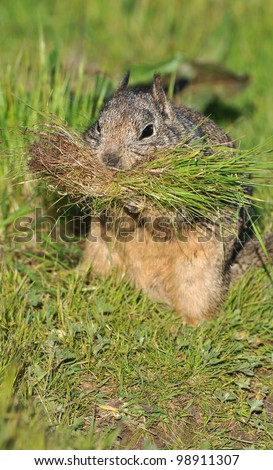 California Ground Squirrel with Grass for Nest - stock photo