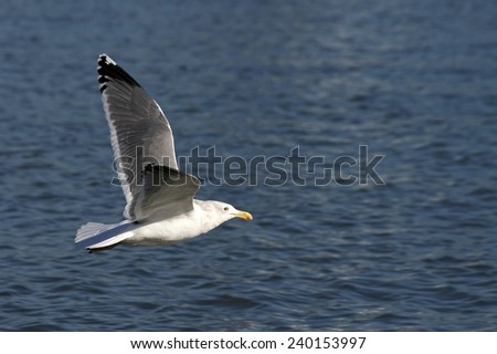 California Gull in flight over the ocean water. These birds forage in flight or pick up objects while swimming, walking or wading. They mainly eat insects, fish and eggs but will scavenge garbage. - stock photo