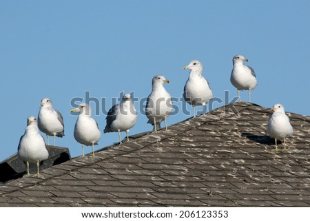 California Gulls posing in a row on a roof - stock photo