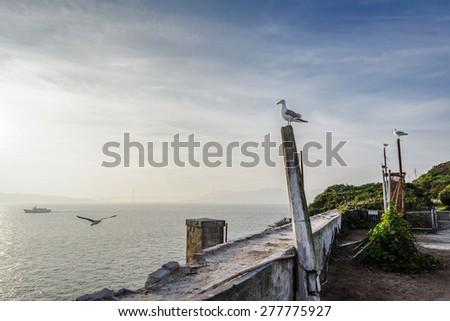 California gulls roosting for the night on Alcatraz island, San Francisco, California. - stock photo
