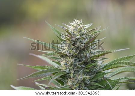 California medical marijuana, legally grown, ready for harvesting. - stock photo