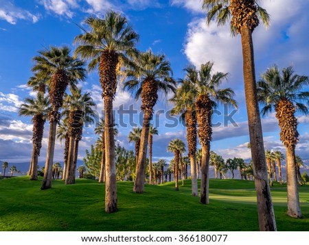 California Palms and the blue sky at a Palm Desert golf resort - stock photo