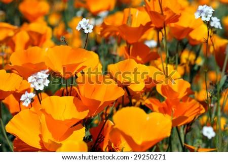 California Poppies - stock photo