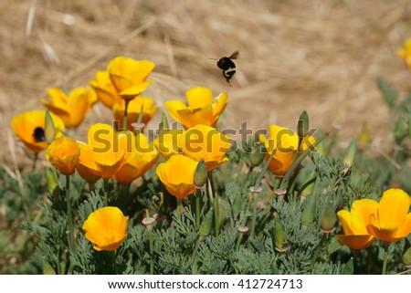 California poppies and bumble bee, California - stock photo