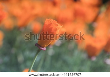 California Poppy blooms - stock photo