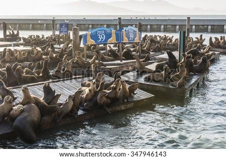 California sea lions (Zalophus californianus) can be found at pier 39 in San Francisco, USA.  - stock photo