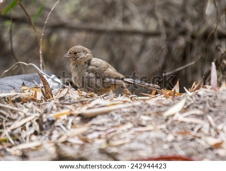 California Towhee spotted in Golden Gate Park, San Francisco - stock photo