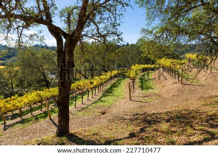 California wine country vineyard with terraced rows and an oak tree in the foreground - stock photo
