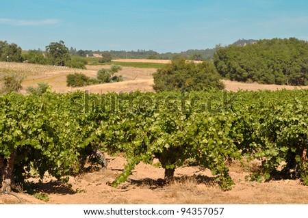 California Wine Vineyard - stock photo