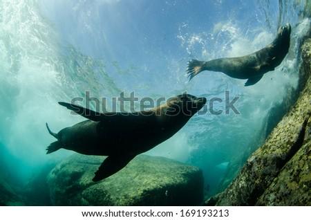 californian sea lion - stock photo