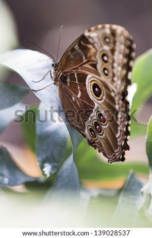 Caligo Eurilochus butterfly on a green leaf - stock photo