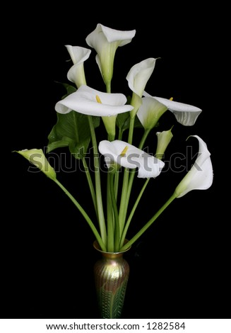Calla lilies against black background - stock photo