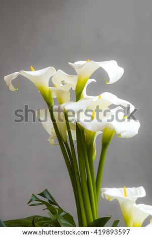 Calla lilies close-up.  - stock photo