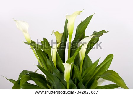 Calla lilies on gray background - stock photo