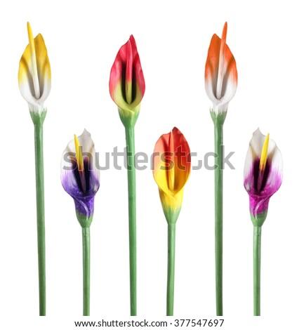 Calla Lilies on White Background - stock photo