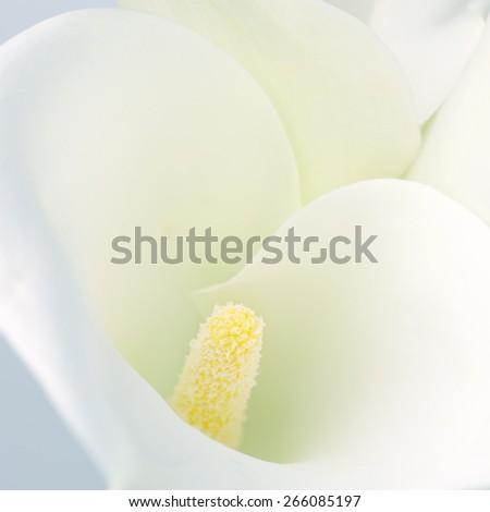 Calla lilly close-up. Shallow DOF. - stock photo