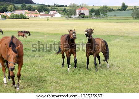 Calling brown Horses on the green Field - stock photo