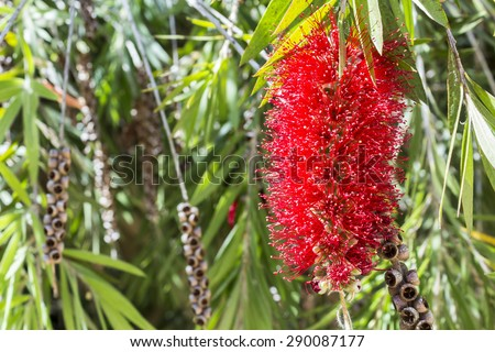 Callistemon, a genus of ornamental shrub in the family Myrtaceae, endemic to Australia. Commonly referred as bottle-brushes because of their cylindrical flowers resembling a traditional bottle brush. - stock photo