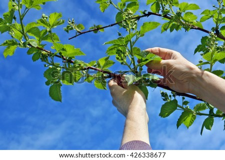 Calloused working hands of the farmer carefully caress gentle spring branches of garden blackberry against the blue sky - stock photo