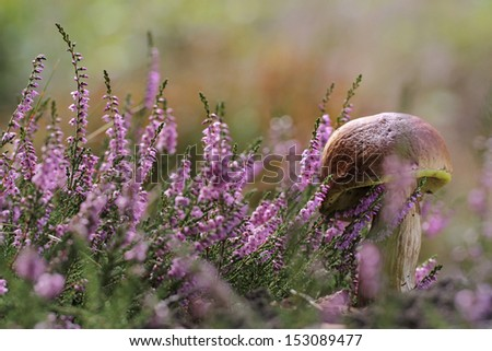 Calluna vulgaris (known as Common Heather, ling, or simply heather and big edible mushroom - cep  - stock photo