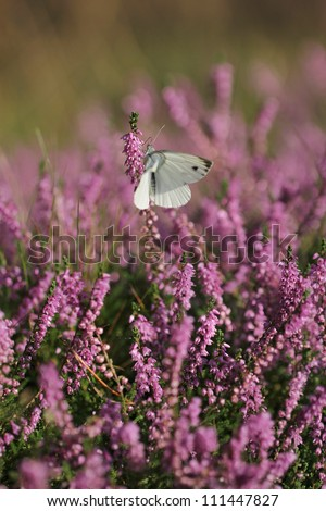 Calluna vulgaris known as Common Heather, ling, or simply heather with butterfly - stock photo