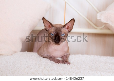Calm cat sphinx sitting on a sofa in the bedroom - stock photo