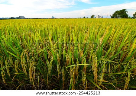 Calm winds blowing in paddy field - stock photo
