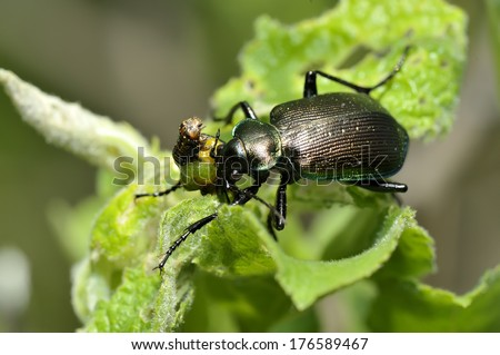 Calosoma inquisitor eat  - stock photo