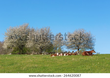 Calves resting at flowering cherry tree in the meadow - stock photo