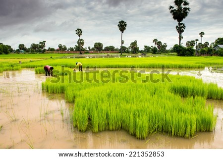 Cambodian rice fields - stock photo