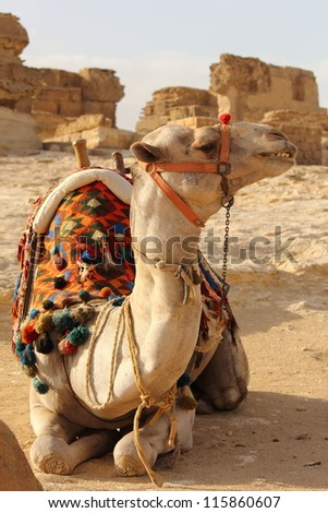 camel at Pyramids desert - stock photo