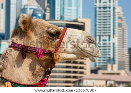Camel at the urban building background of Dubai. UAE - stock photo
