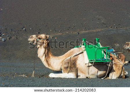 Camel at Timanfaya National Park, Lanzarote, Canary Islands, Spain. - stock photo