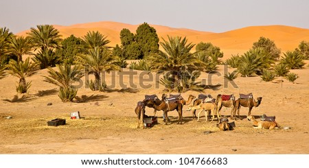 Camel caravan in Morocco is taking a break in the campsite oasis - stock photo