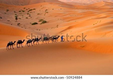 Camel caravan moving across the Sahara sand dunes, Morocco - stock photo