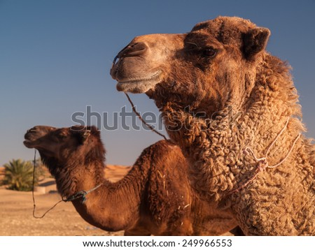 Camel Face in Marocco Desert - stock photo