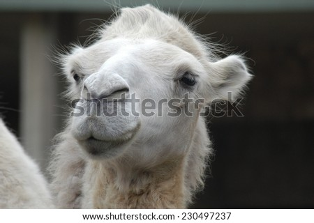 Camel head - stock photo