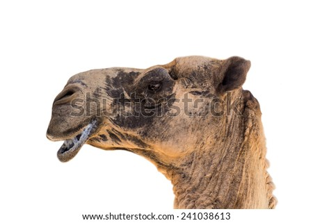 camel head on white background - stock photo