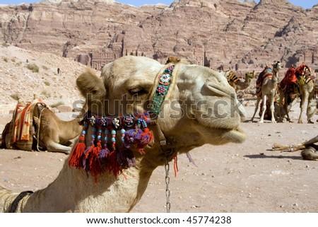Camel in ancietn Petra, Jordan - stock photo