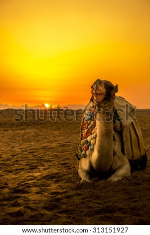 Camel in front of sunset in Hurghada/Makadi Bay, Egypt - stock photo