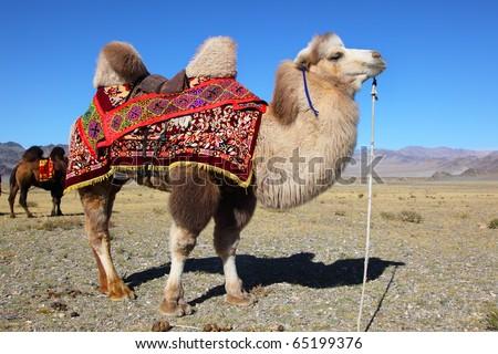 Camel in mongolian desert - stock photo