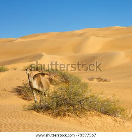 Camel in the Desert - Awbari Sand Sea, Sahara Desert, Libya - stock photo