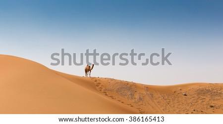 Camel in the desert Dubai - stock photo