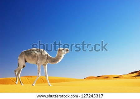 Camel in the Sahara desert, Morocco - stock photo