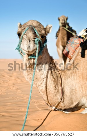 Camel in the Sand dunes desert of Sahara, South Tunisia - stock photo